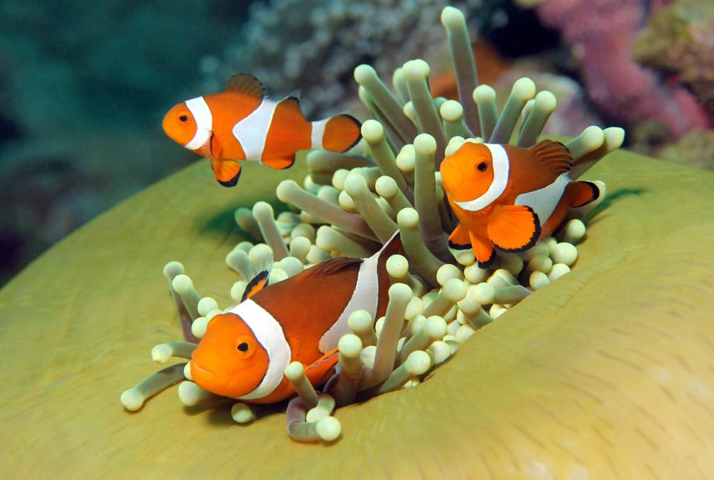 A little bit about clown fish
